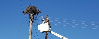 Osprey nests moved