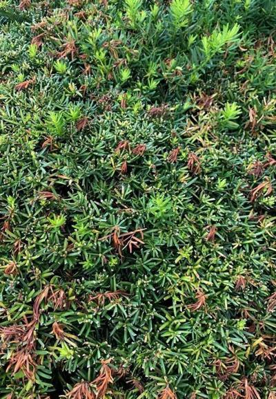 Evergreens: Staples of the landscape