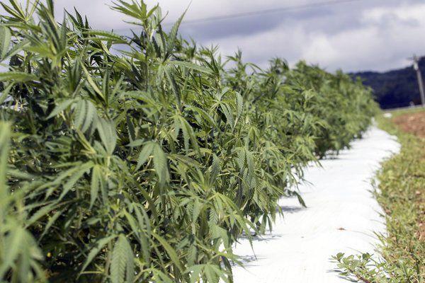 Hemp Kentucky's new cash crop?