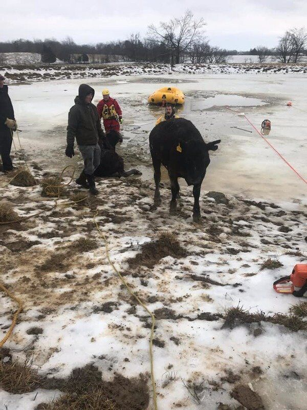HOLY COW! Local fire departments rescue trapped bovines