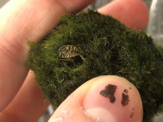 Moss ball mussels