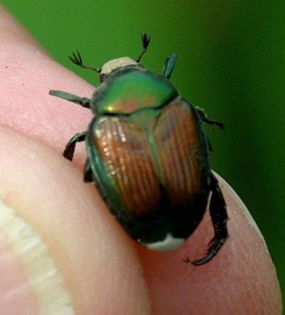 Japanese beetles showing up around the county