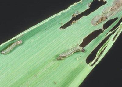 Watch for fall armyworm in pastures