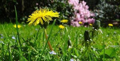 Control dandelions in grain crops this fall