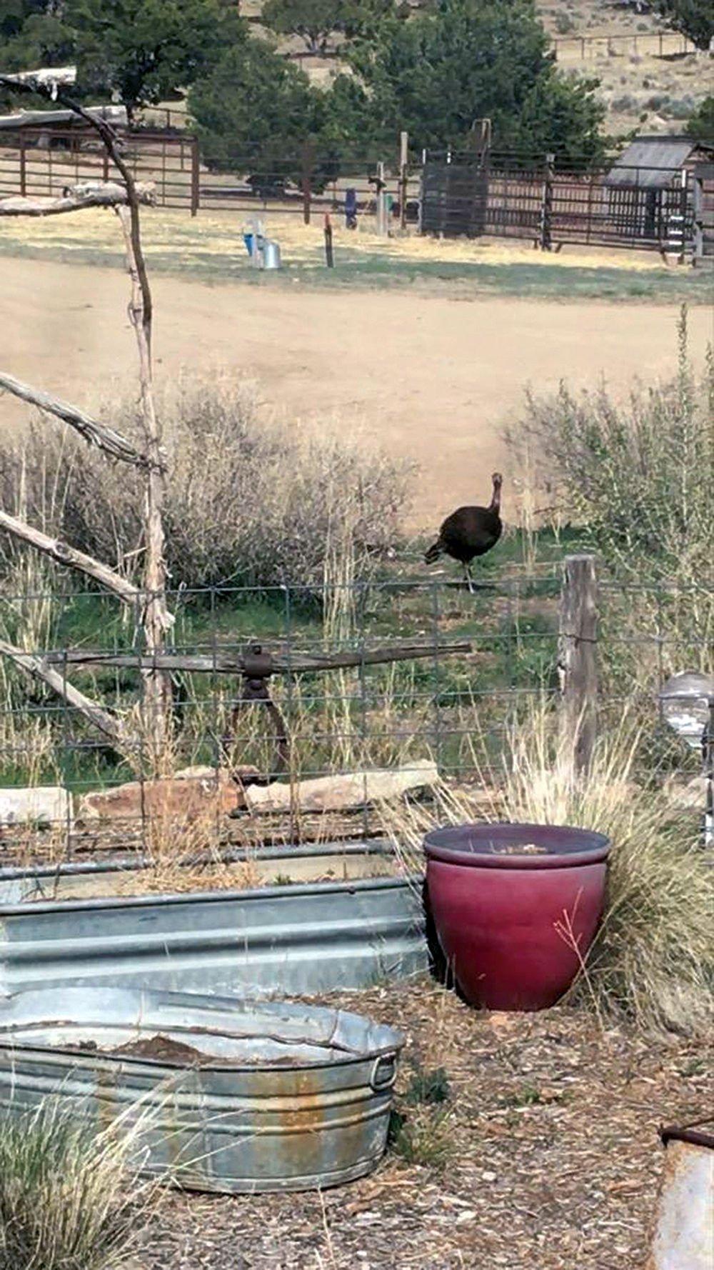 turkey on schreiber ranch 4-22-2020