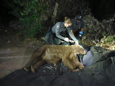 darted bear