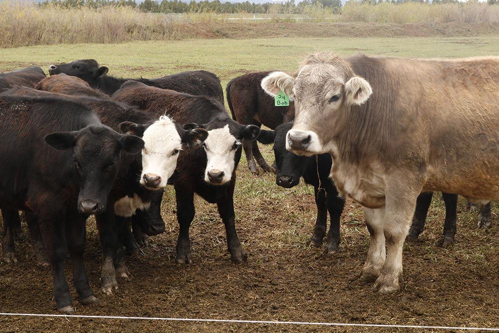 Tommy Casados cows