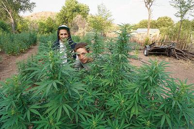 in hemp plants