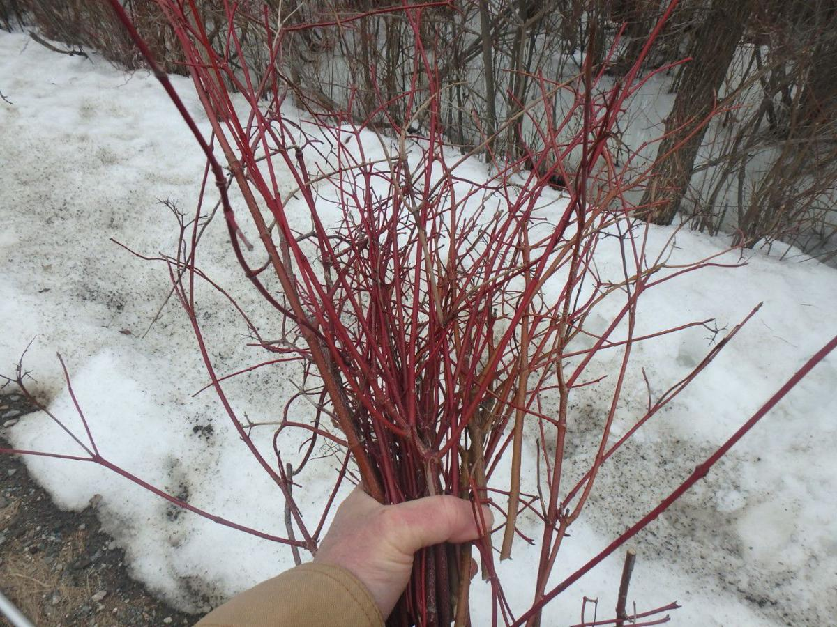 Red-twigged dogwood stems are brightest if old stems are removed
