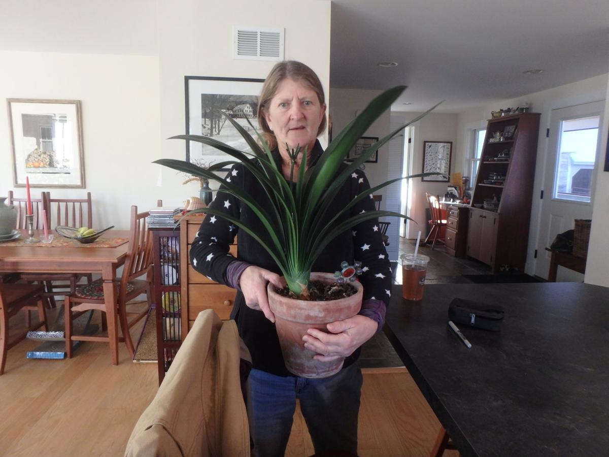 Alicia Jenks with a clivia descended from one her mother grew.JPG