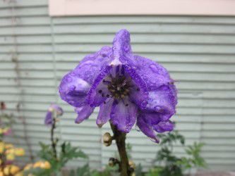MAG_Fall blooming monkshood is a poisonous beauty.jpg