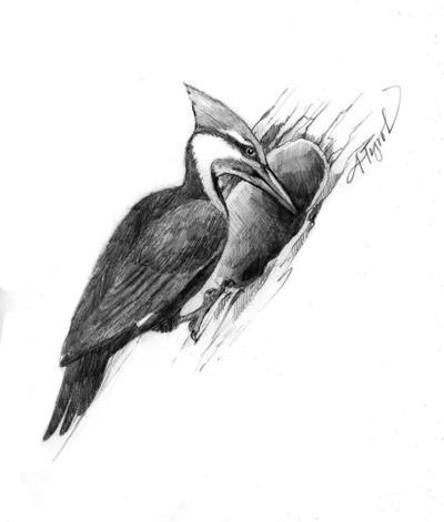 MAG_TOS_PileatedWoodpecker