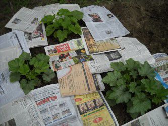 MAG_Mulching with newspaper and straw works well. 001.jpg
