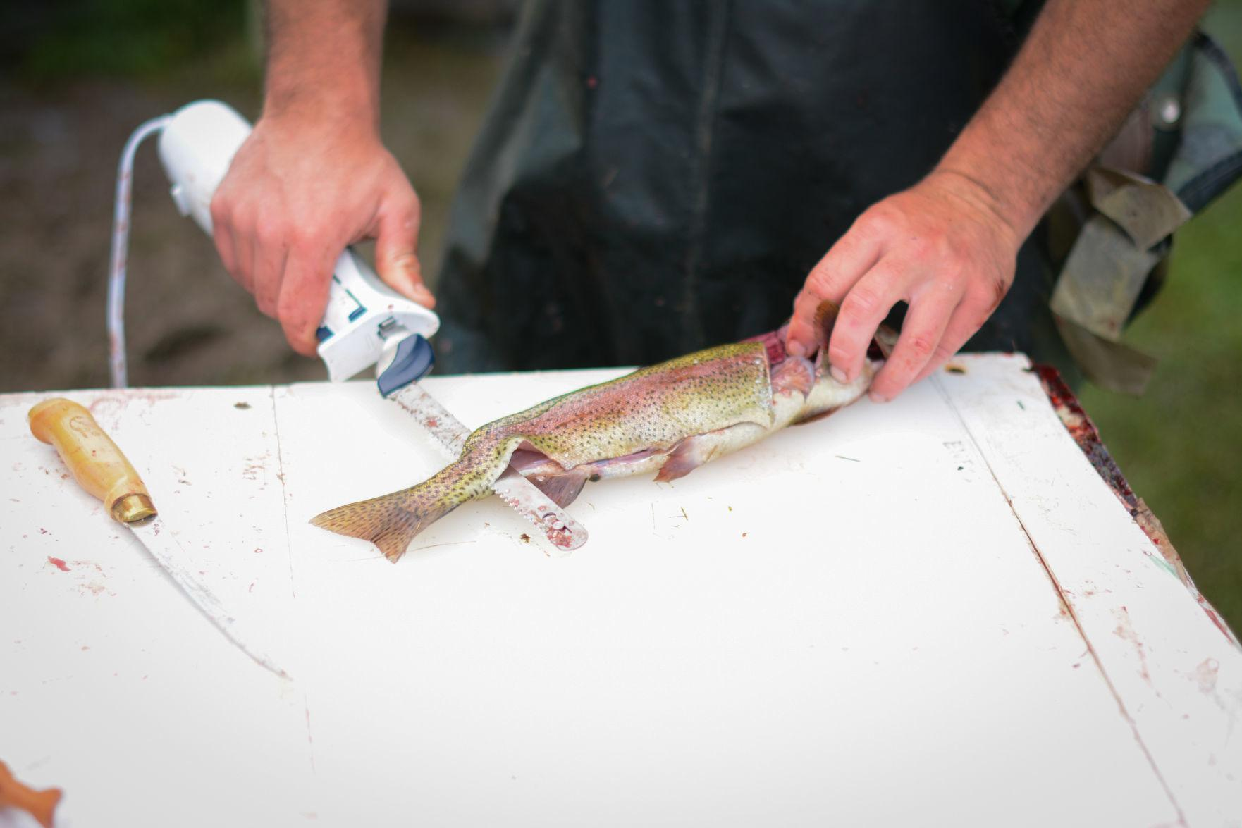 Filleting Trout.JPG