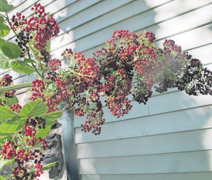 Native Plants For New England Gardens Rutlandherald Com