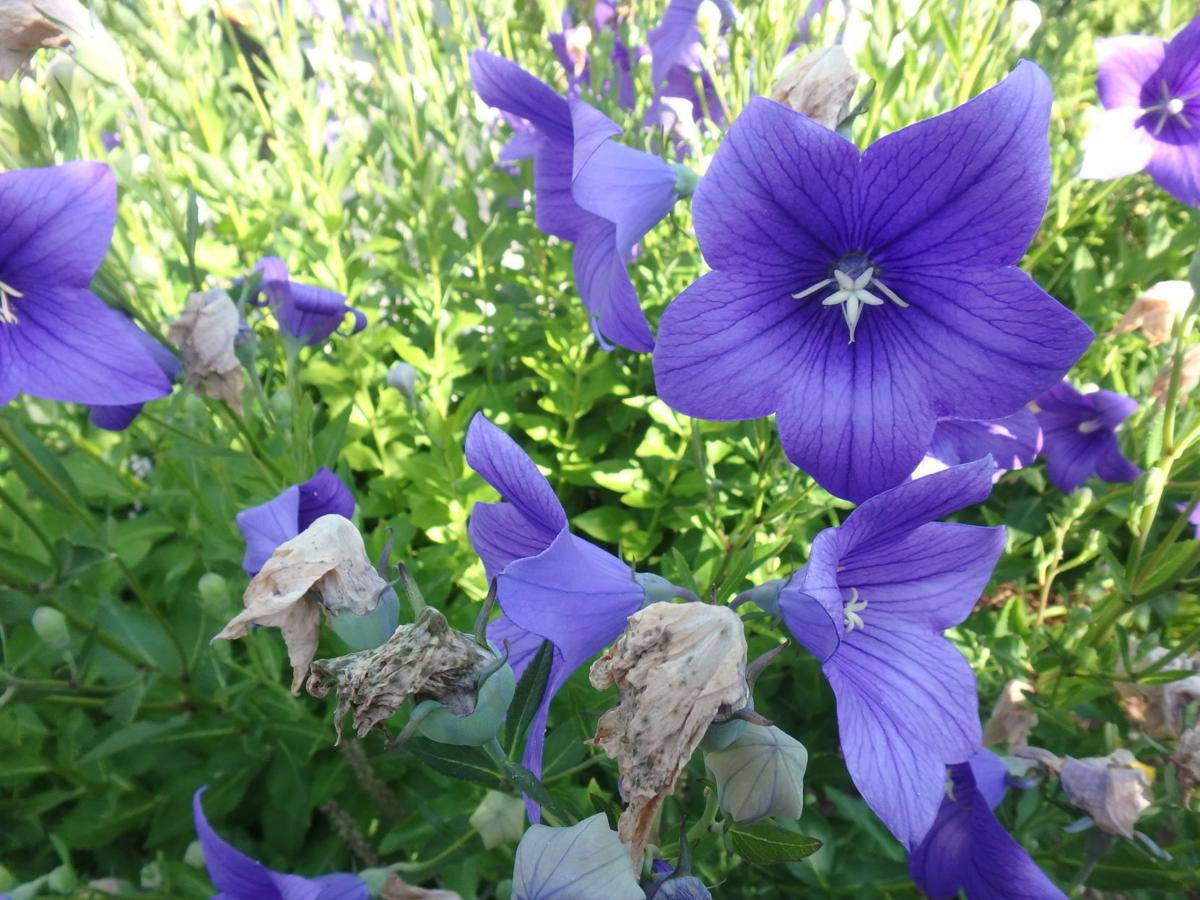 Blue Balloon flower or Platycodon.JPG