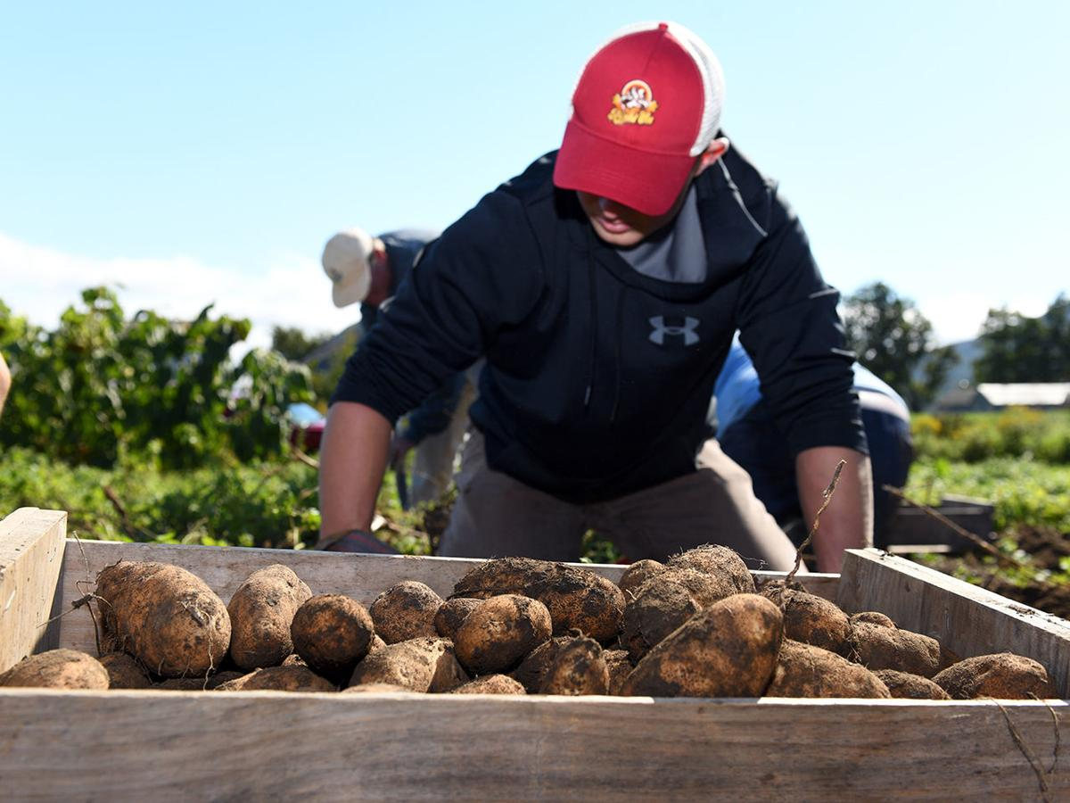 Spud Vibes: Stafford Tech Culinary helps with the glean