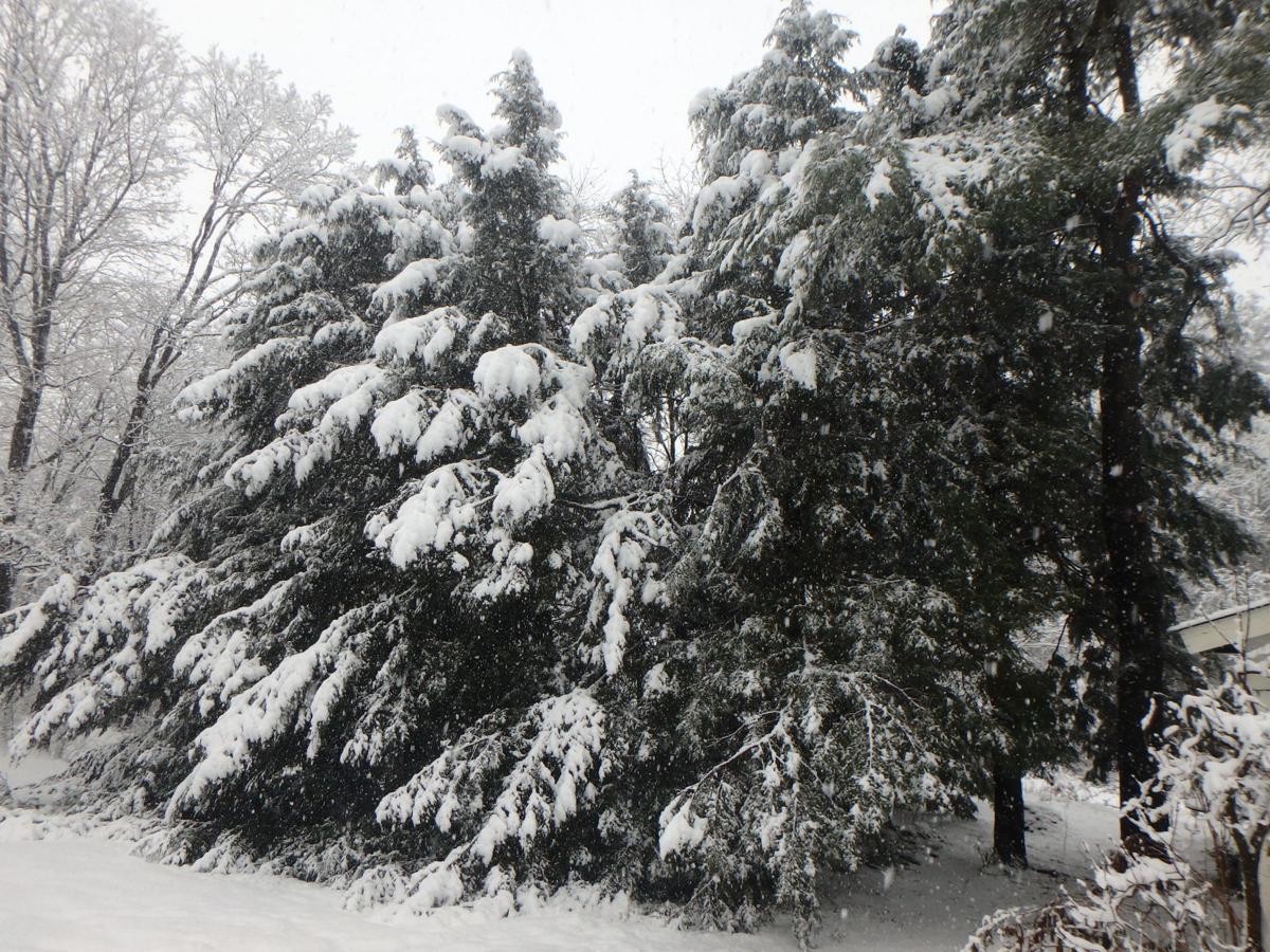 Hemlock hedge in winter.JPG