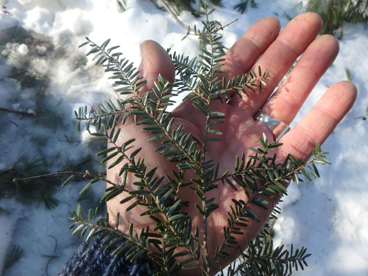Hemlock needles are short and soft to the touch.JPG