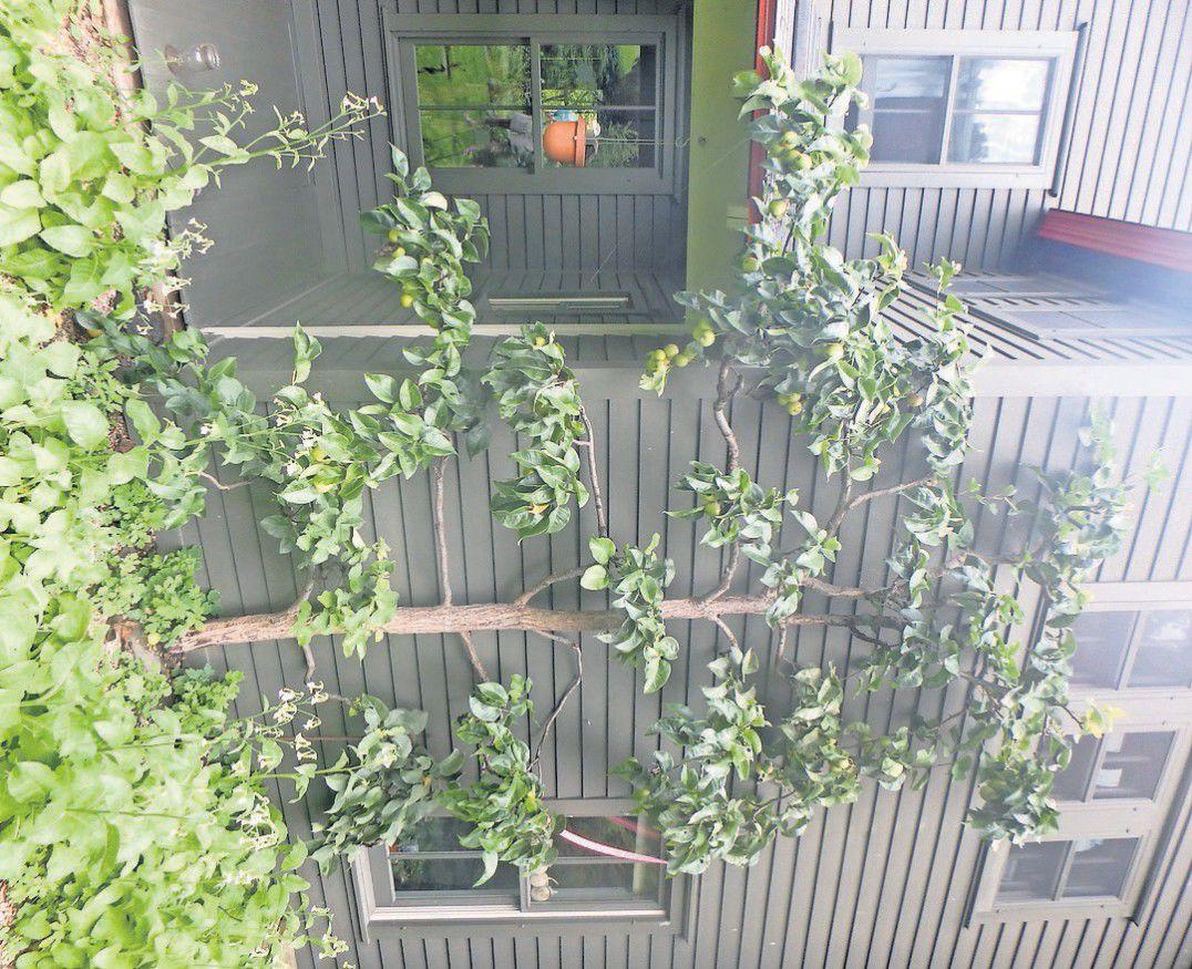 Espalier Fruit Trees Rutlandherald Com