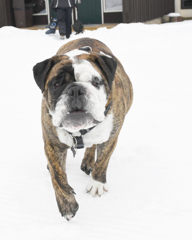 Bulldog - Vertical