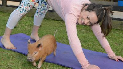 You Can Now Do Pilates With Adorable Miniature Pigs On This Farm