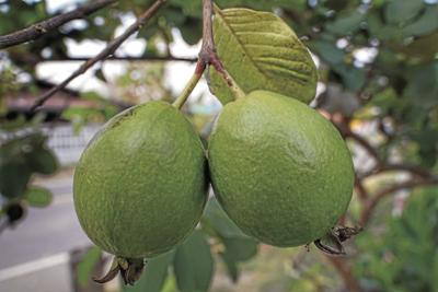 guava-3351709_1920_CMYK.jpg