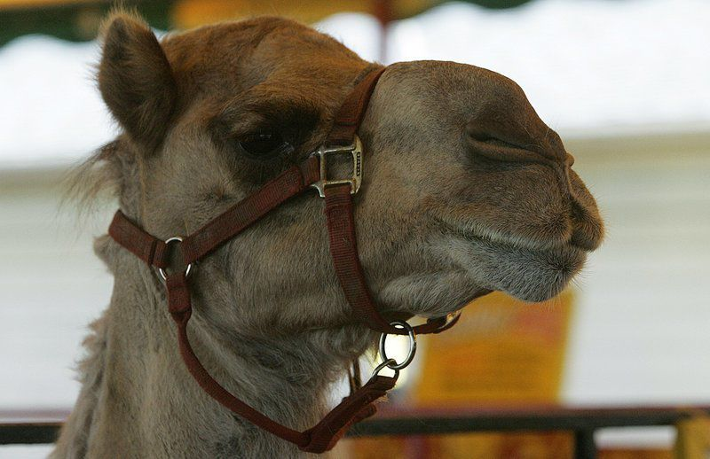 Elephants, camels banned from Topsfield Fair