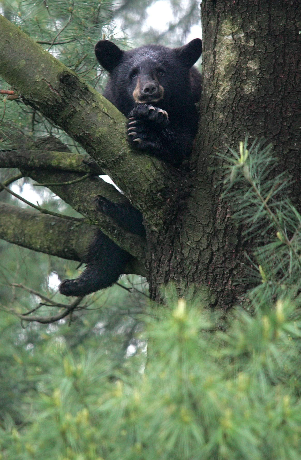 black bear spotted in north shore backyard archives salemnews com
