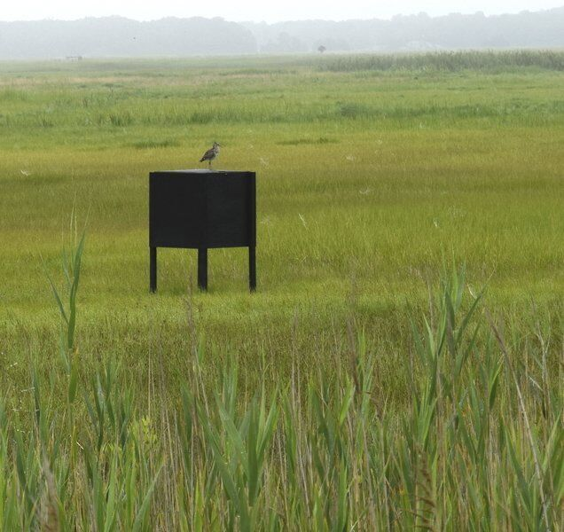 Greenheads back and bugging in the salt marshes