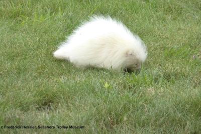 All-white creature identified as rare albino porcupine