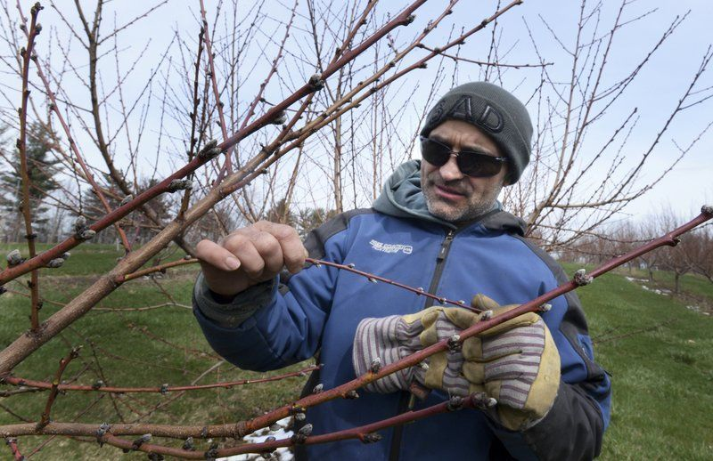 Cold weather causes massive peach crop destruction in New England