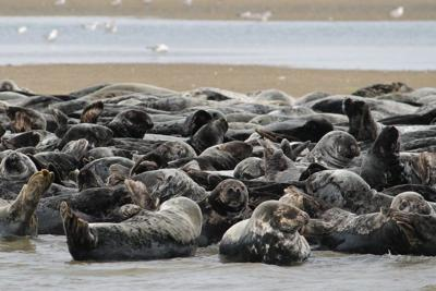 Group wants to end protections for seals to deal with sharks