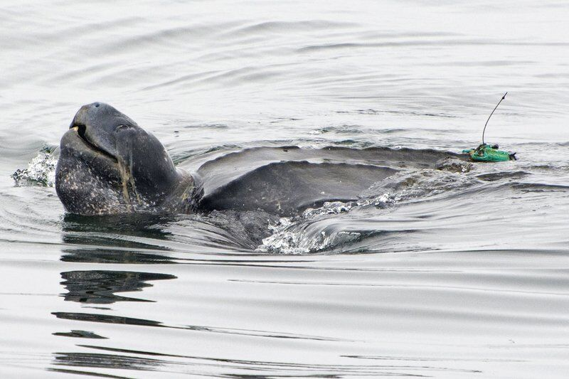 Steep decline in giant sea turtles seen off US West Coast
