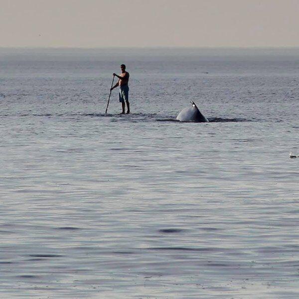 Humpbacks scoop up bait fish close to shore
