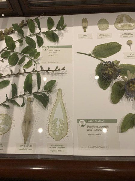 Delicate beauty: Realism of Glass Flowers still dazzles at Harvard