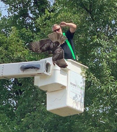 Above-par effort frees hawk at golf driving range