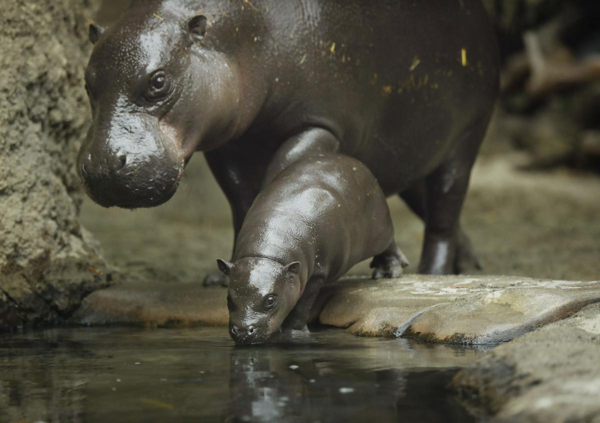 LIFE-ZOO-BABY-HIPPO-12-SD