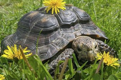 Wanted: Loving home for 53-year-old tortoise
