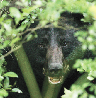 Black bears are found in northeast Alabama