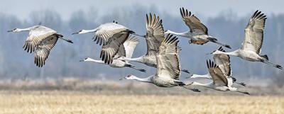 Alabama to allow sandhill crane hunting