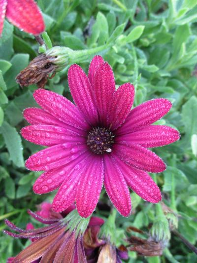 Tony Tomeo Highlight: African daisy