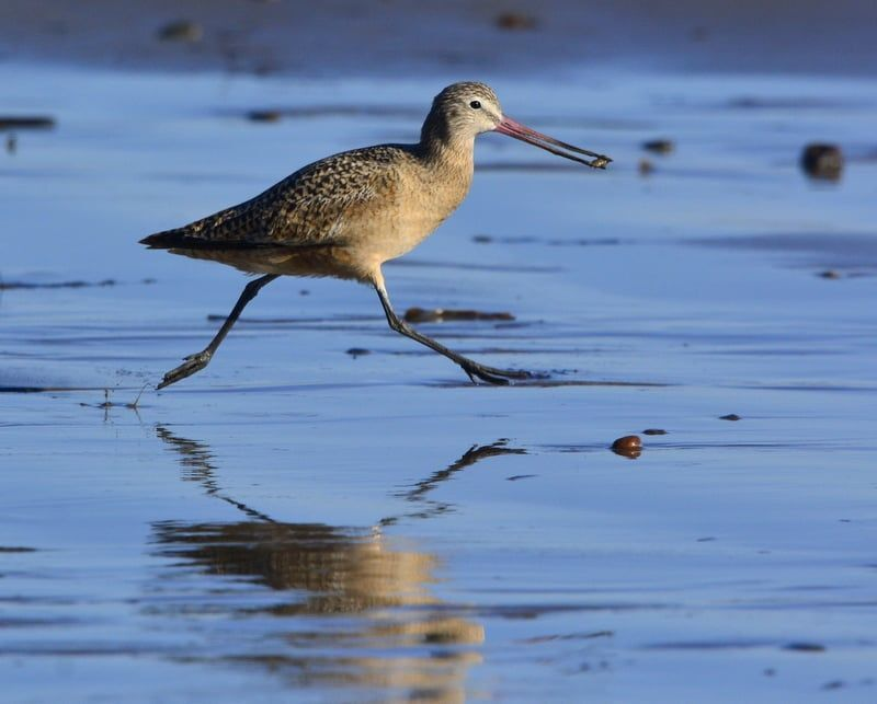 Marbled Godwit, running to keep its meal from others! Goleta Lagoon Outflow, Goleta, CA.png