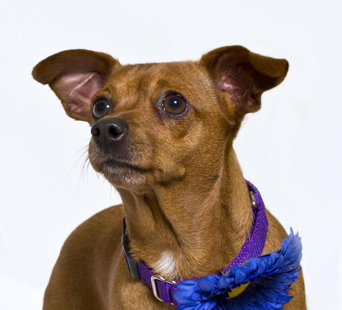 SMVHS Pet of the Week -- Cookie