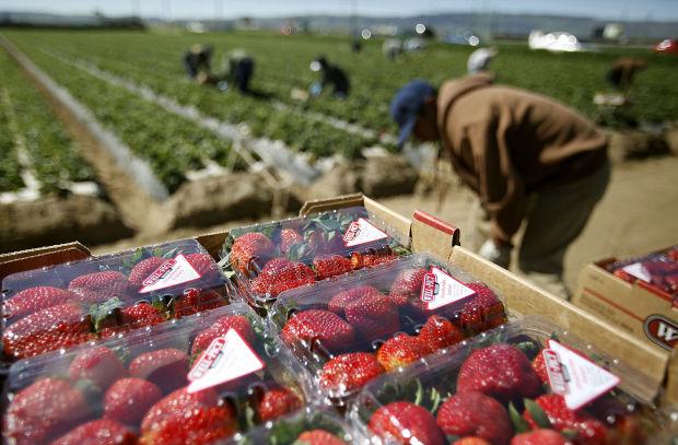 Strawberries Vital To Local State Economy