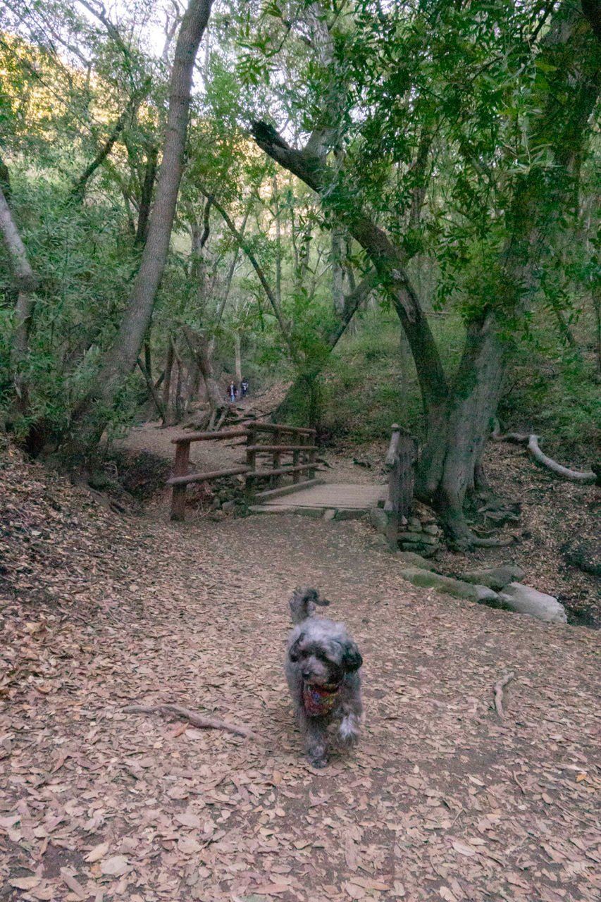 Sparkie walks on the trail leading to Nojoqui Falls.
