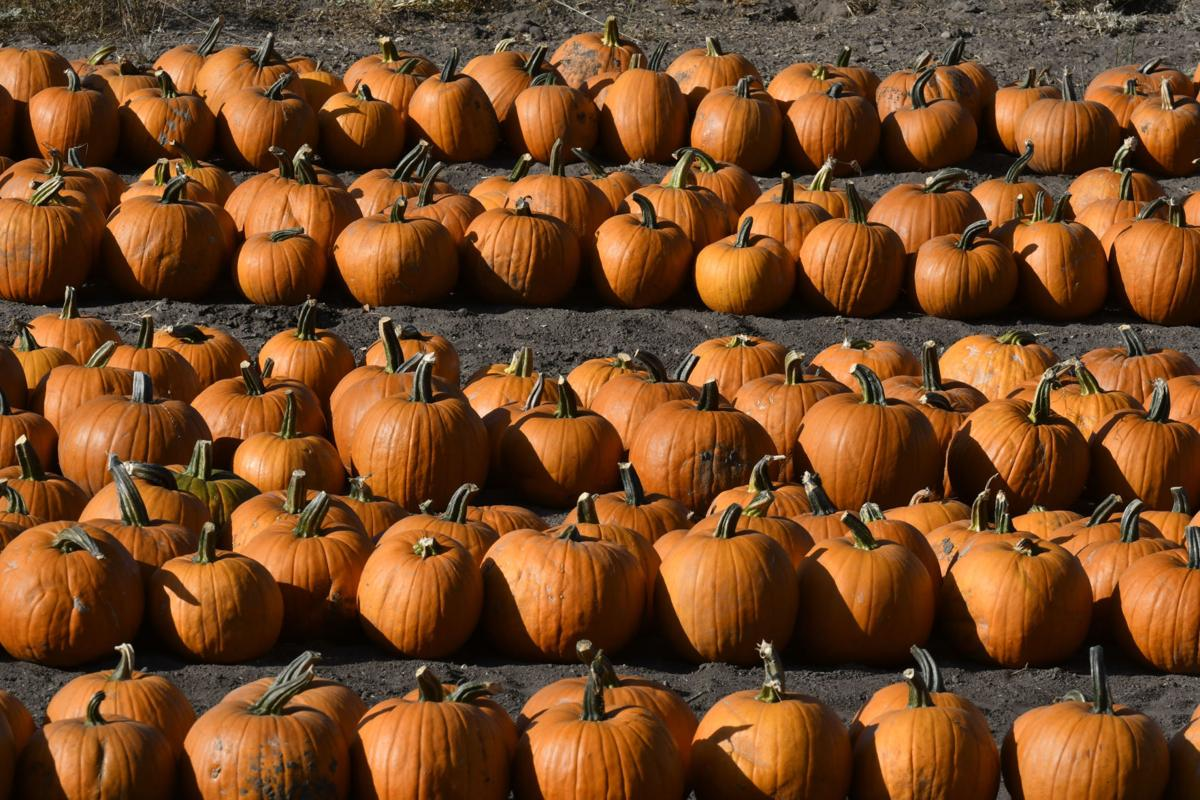 Photos: Pumpkins, corn maze, more open at The Patch   Local News ...