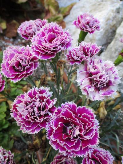 Tony Tomeo Highlight: Dwarf carnation