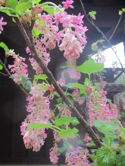 Highlight Pink Flowering Currant Tony Tomeo Santamariatimes