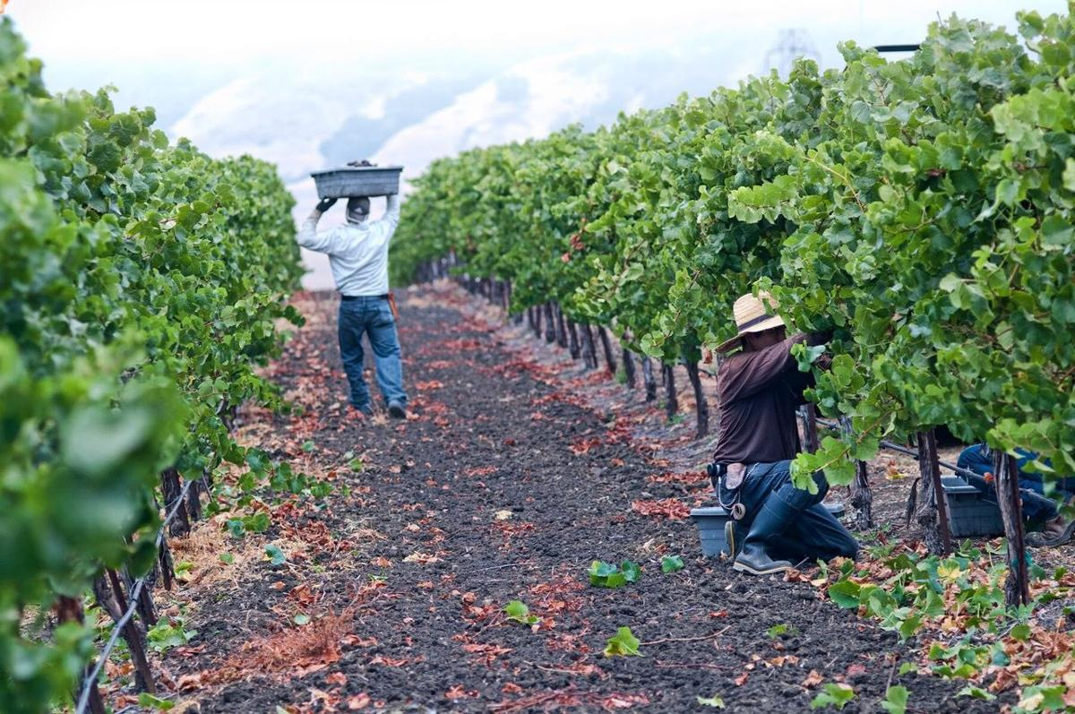 Harvesting wine grapes during the 2017 vintage at the historic Edna Valley Paragon Vineyard